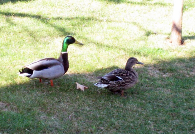 ducks-edited