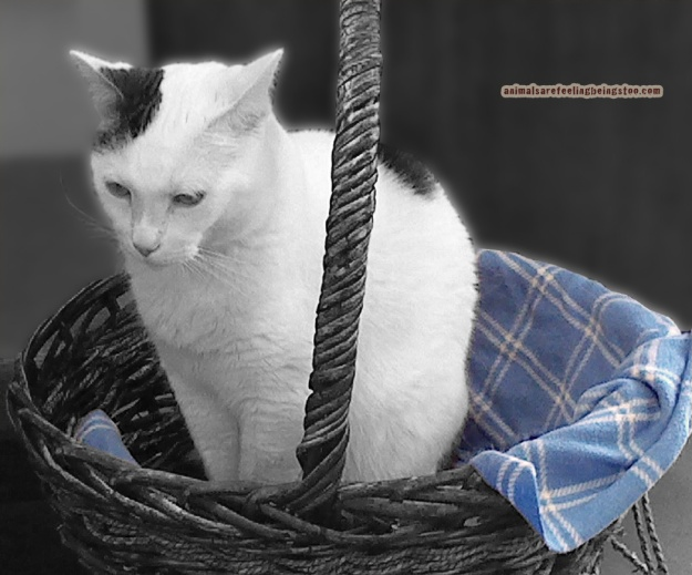 cat-in-basket-at-skadron-blackwhite-with-color