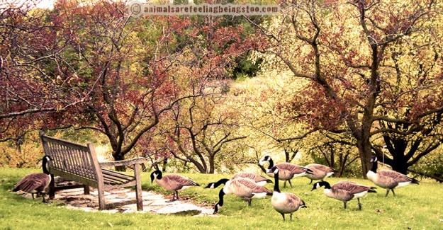 geese-aafbt copyright