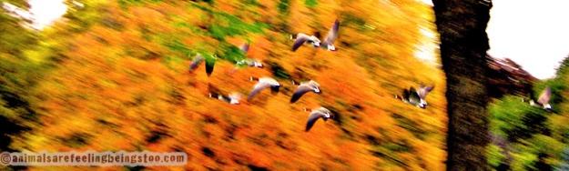 geese-in-flight-aafbt