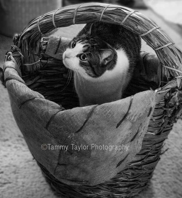 Cino-in-basket-black-white-edited3-copyright
