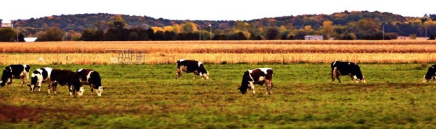 cows-corn-trees-aafbt
