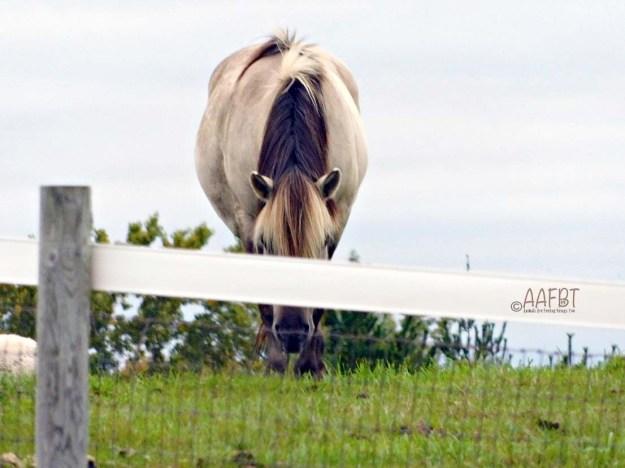 horse-looking-aafbt