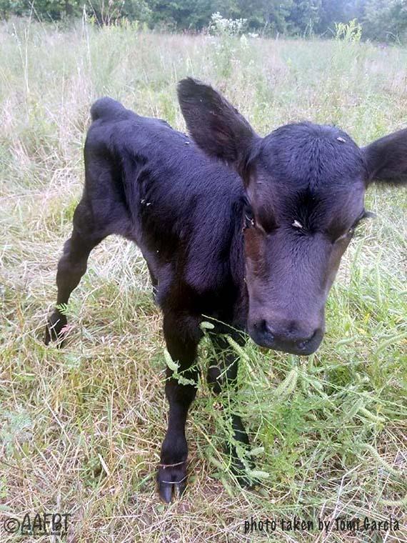 calf-tomi-aafbt