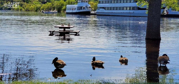 ducks-on-picnic-table-spring-flood-aafbt